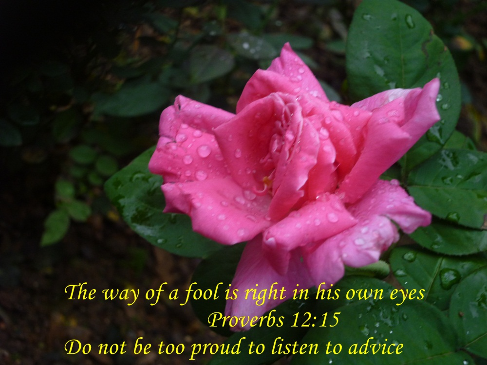 exquisite pink rose being gently caressed by raindrops